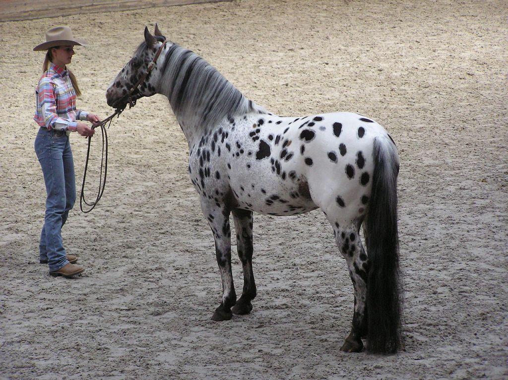 1280px-Appaloosa_stallion