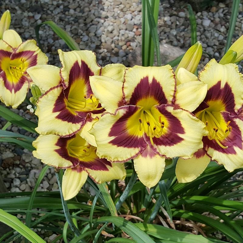 Vicki-Iris