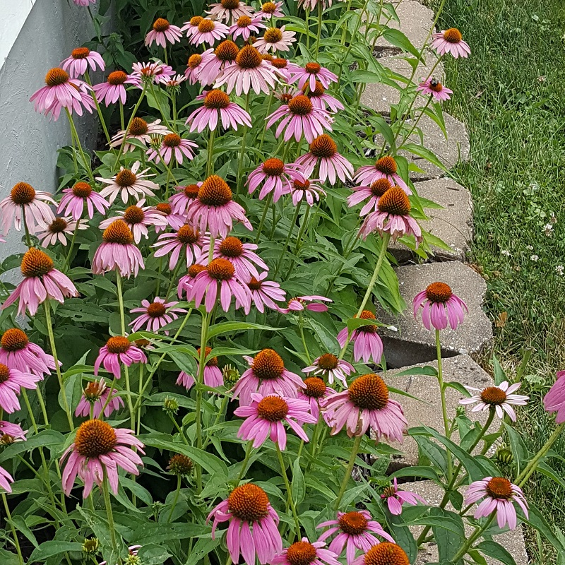 Vicki-Purple Cone Flowers