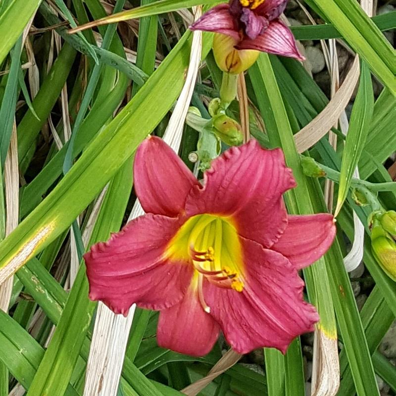 Vicki-red Iris
