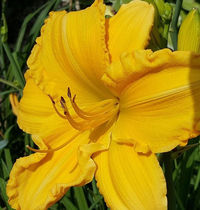 Vicki-Yellow Iris